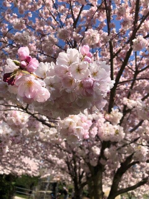 バンクーバーの素敵な春♡